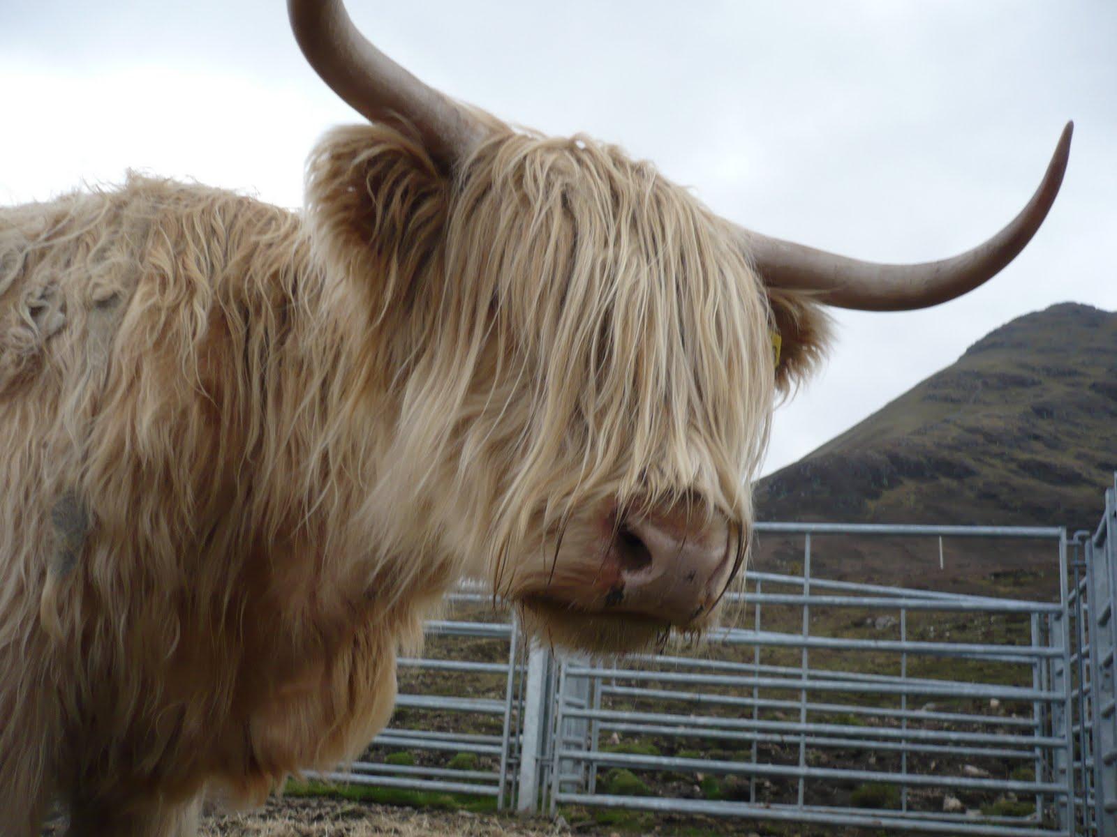 Vaca Escocia