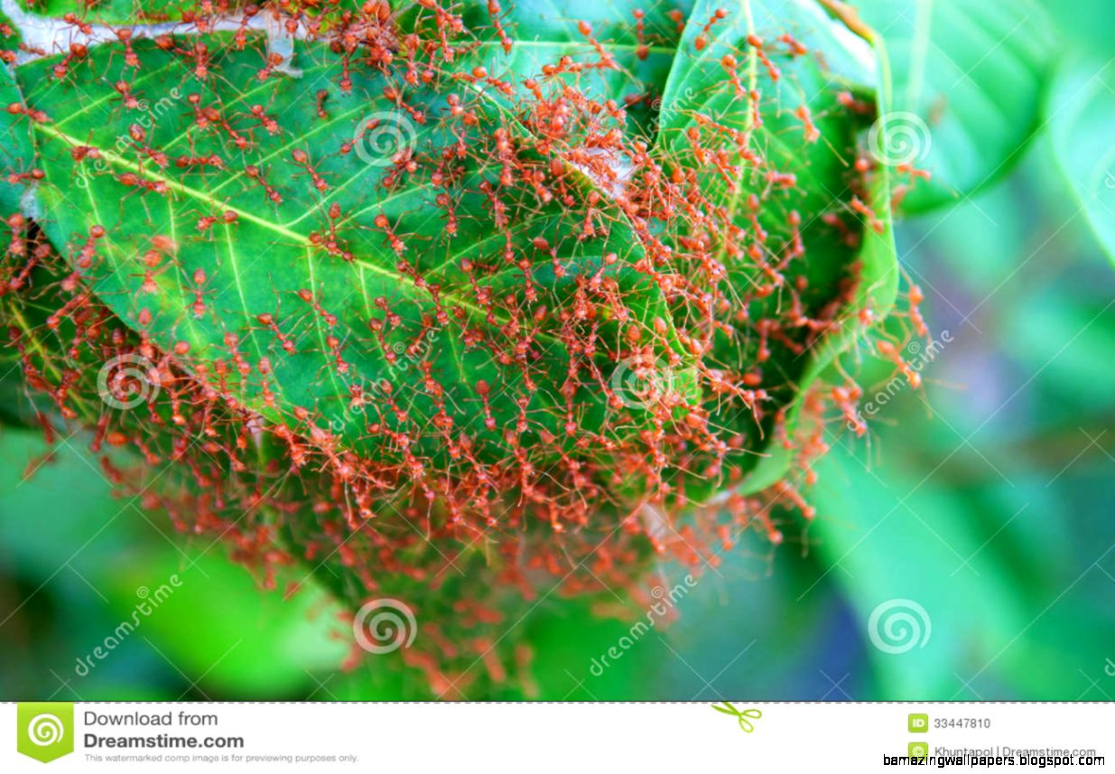Red Ant Builds Nests On A Leaf Stock Photo   Image 33447810