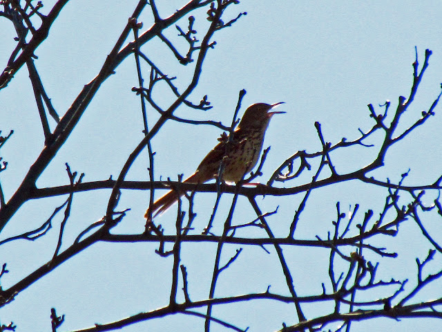 brown thrasher sings