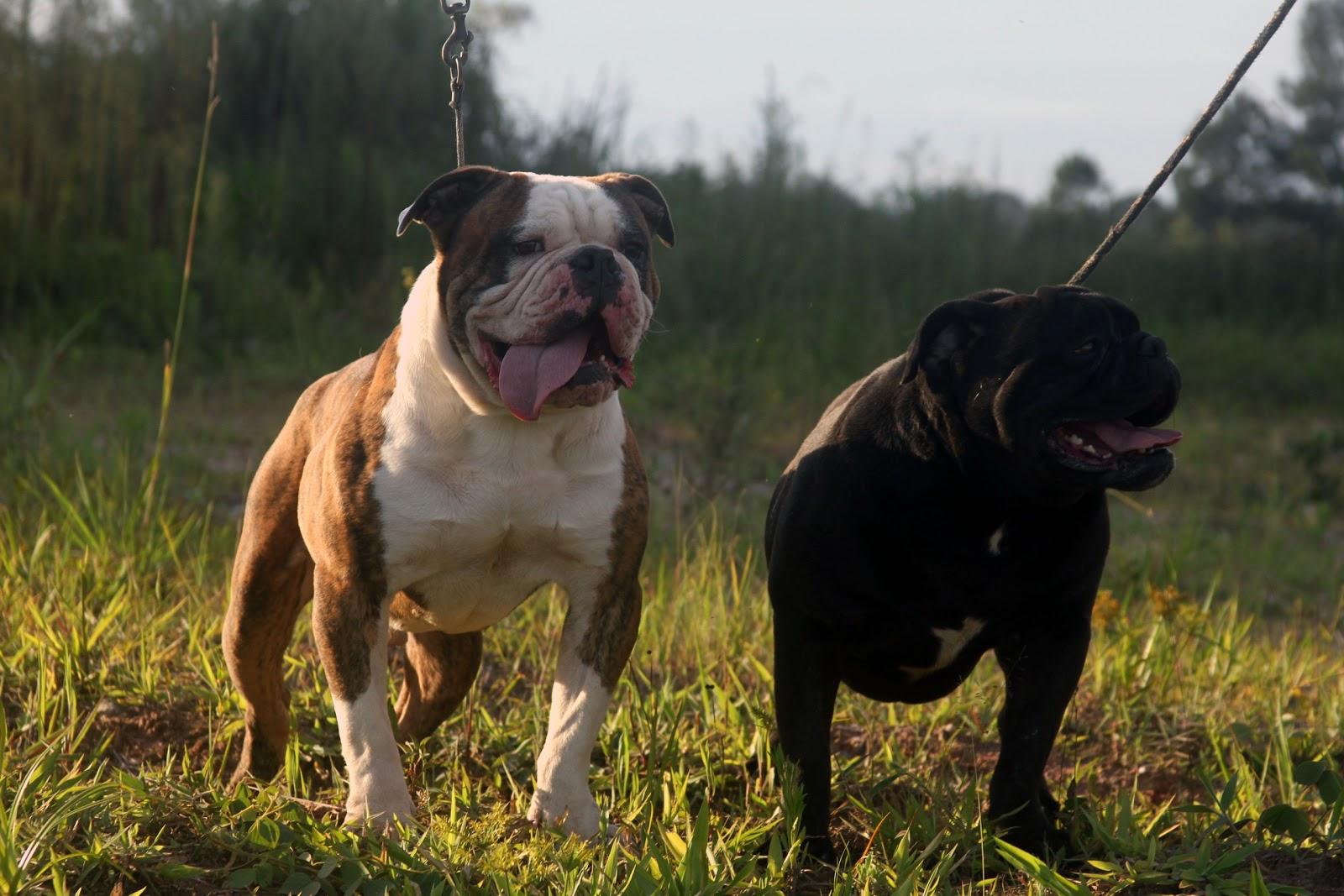 bully type american bulldog bulldog american bulldog american bully