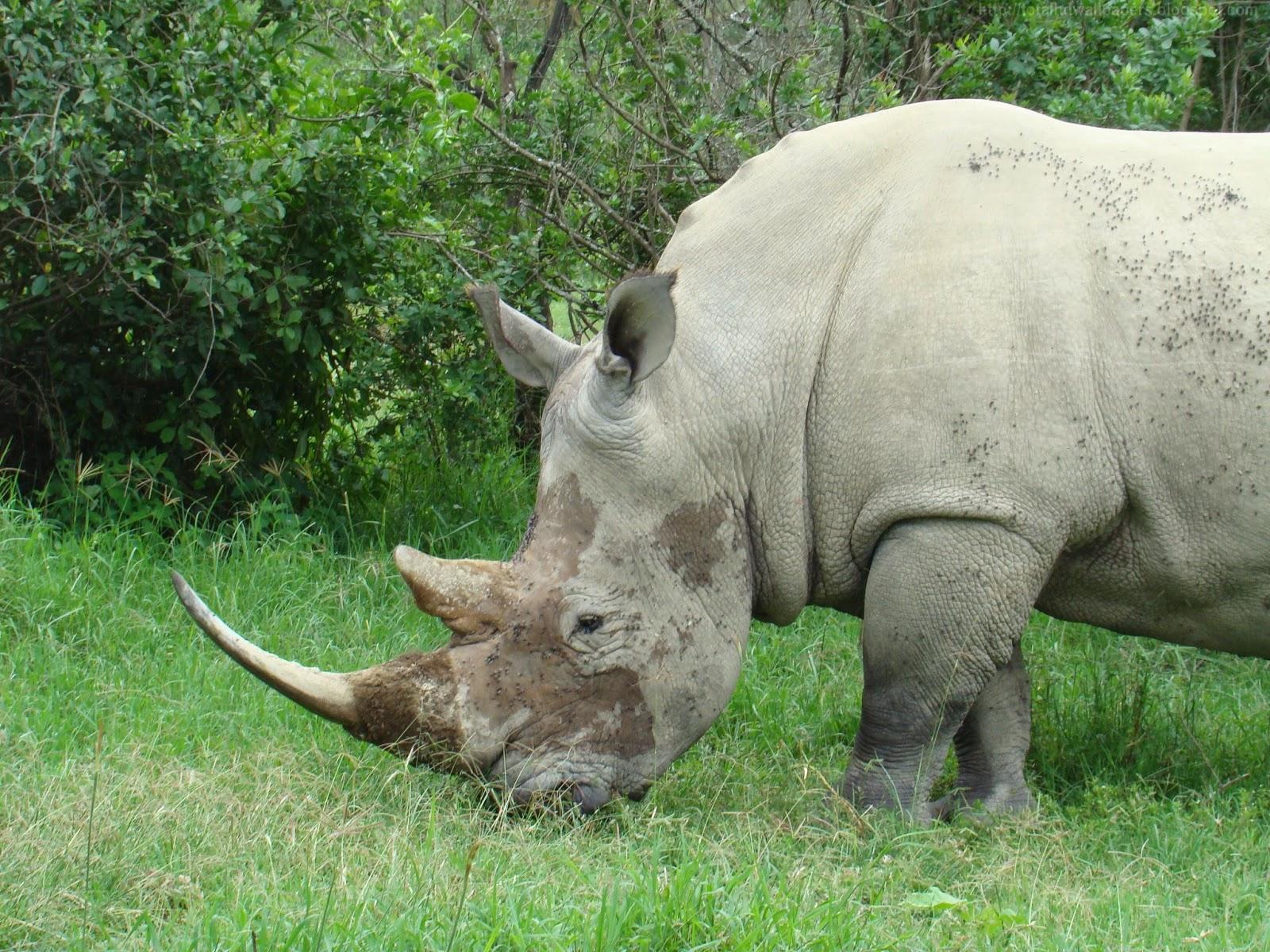 Beautiful Desktop HD Wallpapers 1080p: Black Rhinoceros HD ...