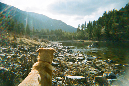Clark Fork river yellow lab