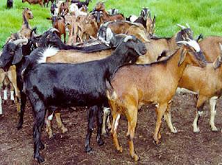 Mengobati Kudisan Pada kambing
