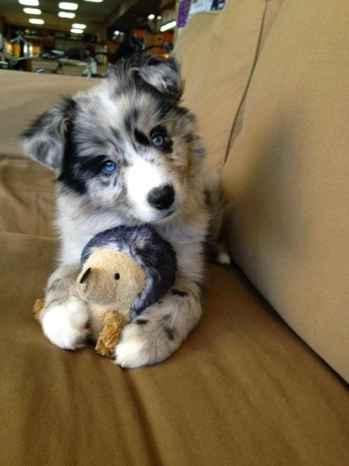 Cute Australian Shepherd great dog