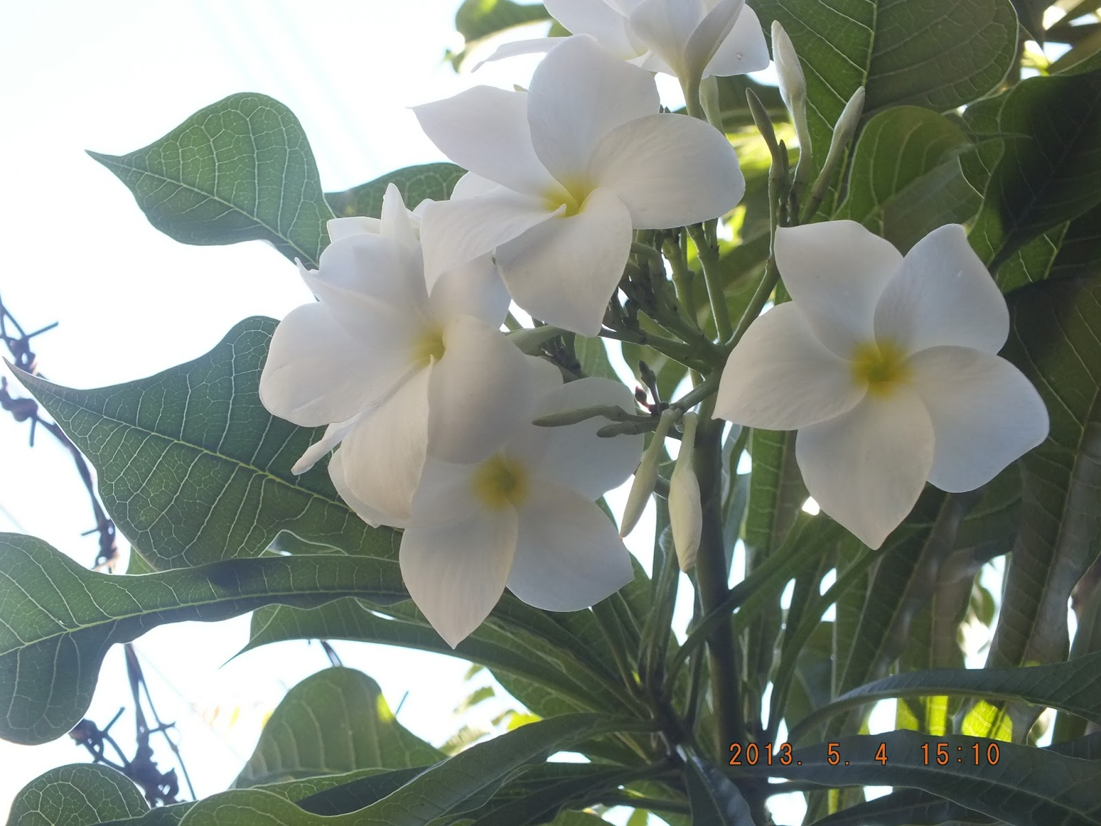 Photography With Dr Ernie Flowers A New White Frangipani Hybrid