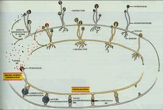 Rhizopus stolonifer asexual life cycle
