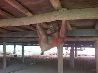 This orangutan was chained to the house of her owner