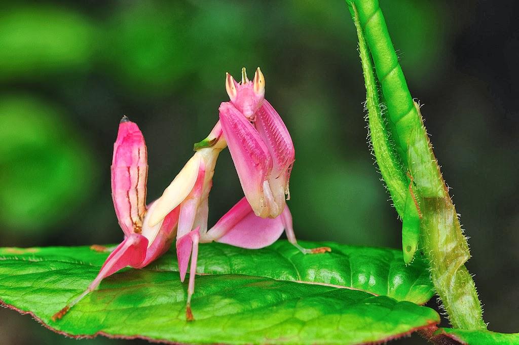 Super animales...Mantis Religiosa cazando un ser
