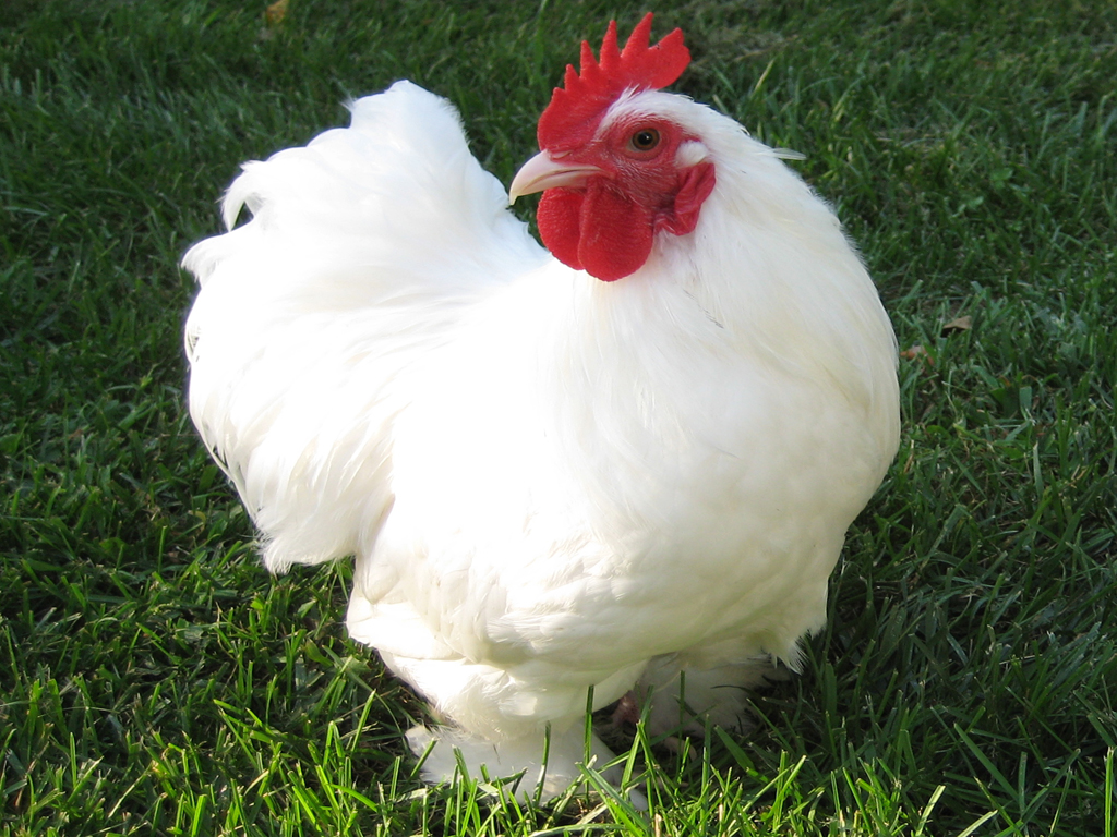 poultry farming in India, poultry farming, commercial poultry farming, poultry farming business, commercial poultry farming business