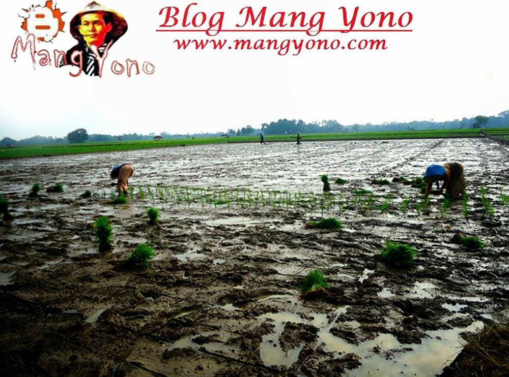 """"""" Tanju """" Model baru menanam padi di Pagaden Barat"""