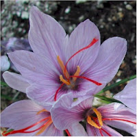 Saffron is used as a spice in many culinary products: Food products such as margarine, sausages, cake powder, and many desserts.