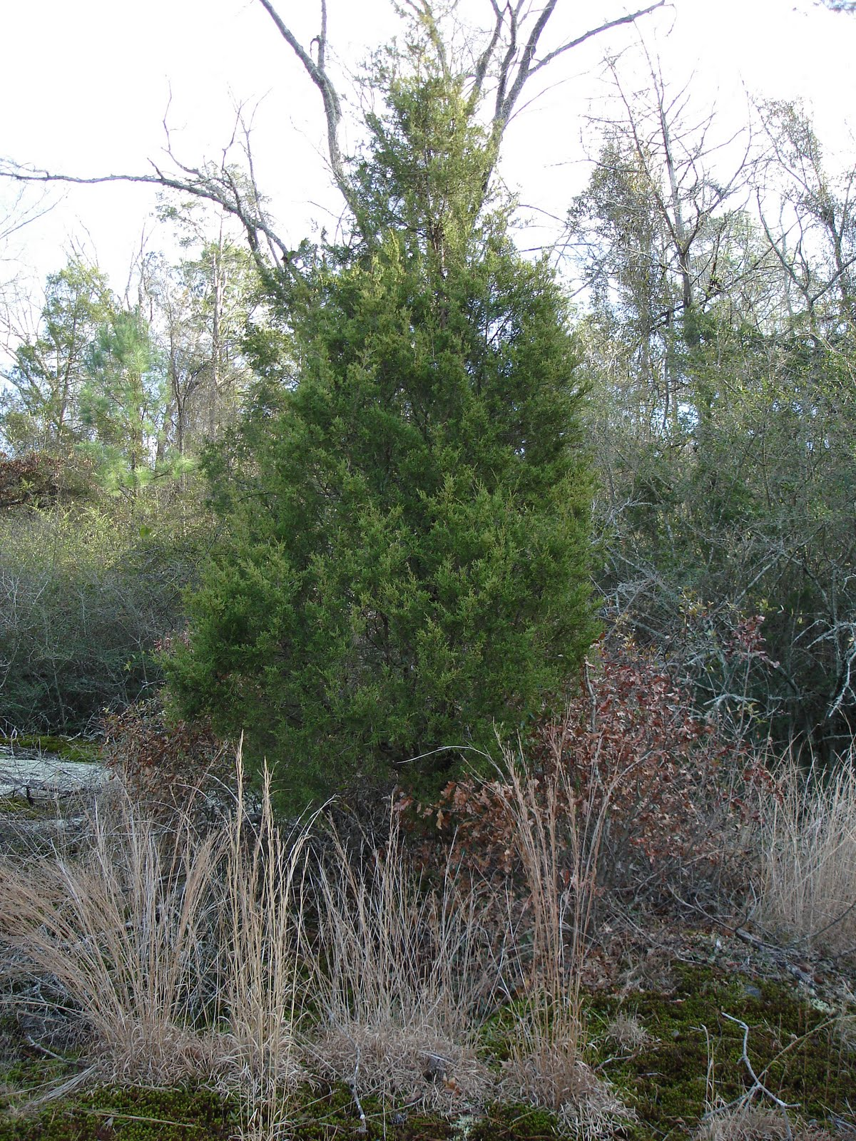 Identifying eastern red cedar