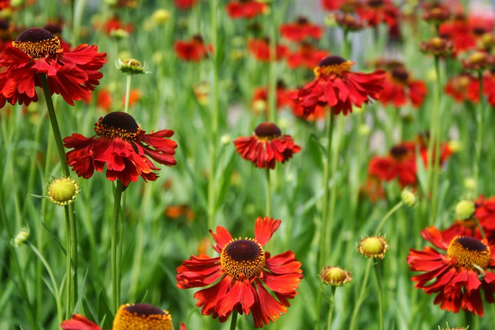 Helenium autumnale-ryhmä 'Moerheim Beauty'
