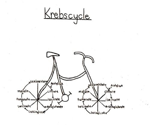 krebs cycle video