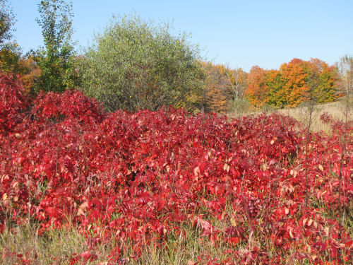 winged sumac autumn foliage