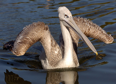 White Pelican bird