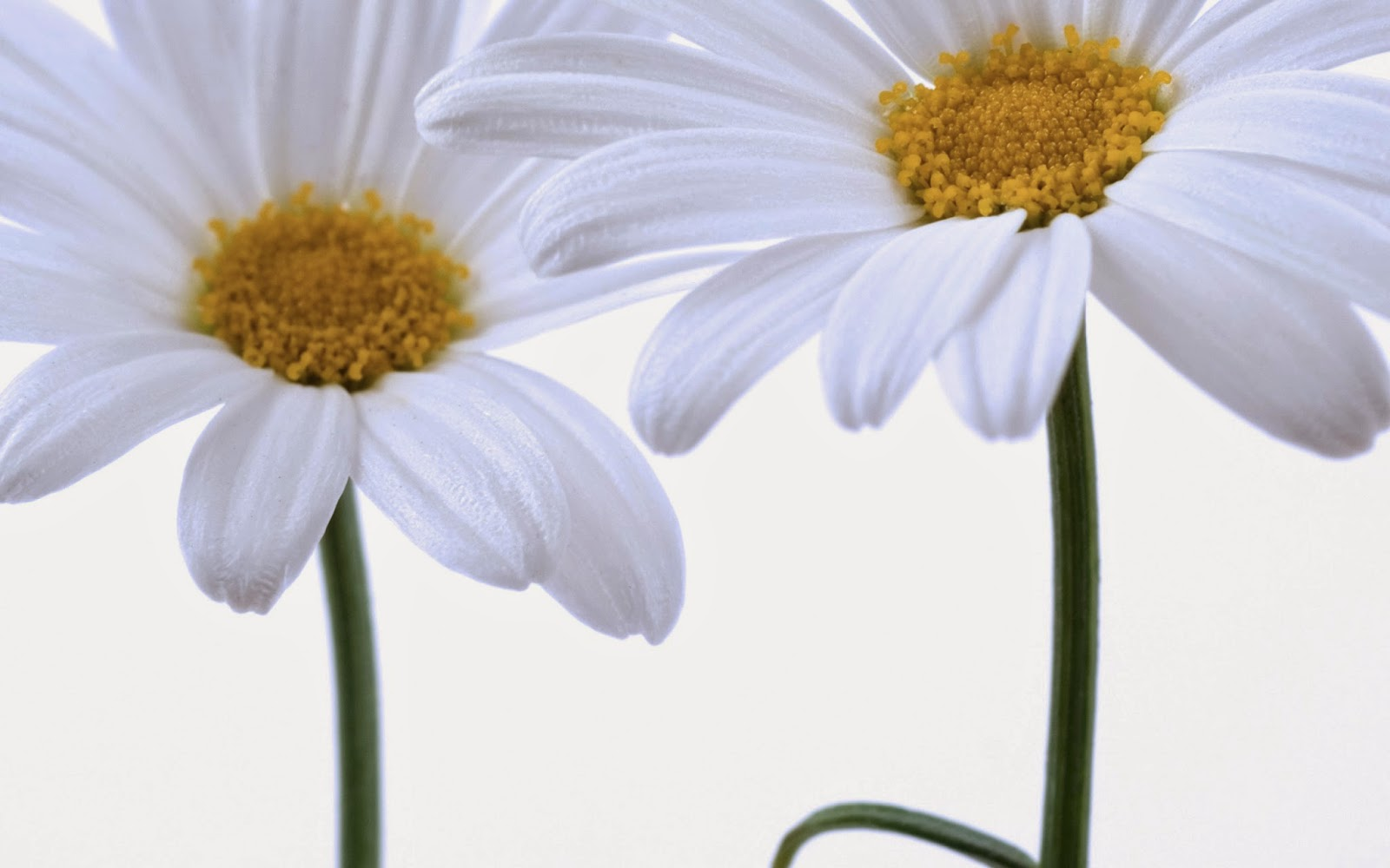 Gerbera-Daisy-flower-picture-HD-for-Facebook-sharing.jpg