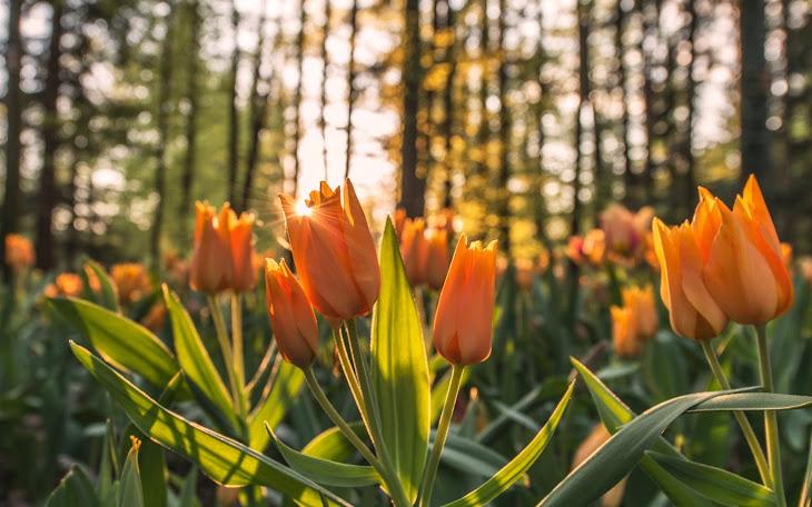 Sun Rays through Orange Tulips