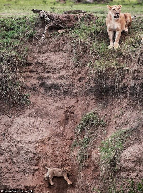 leon cae por acantilado