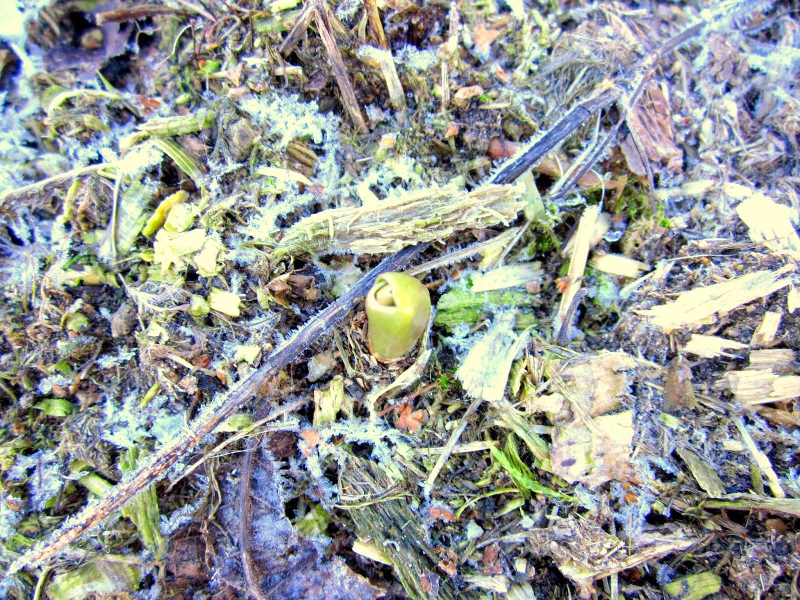Tulpan, vårkänslor, vårtecken, blommig fredag, lantblogg, lantliv
