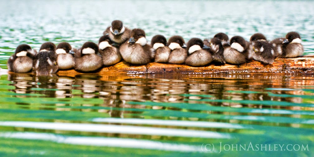Barrow's Goldeneye ducklings (c) John Ashley