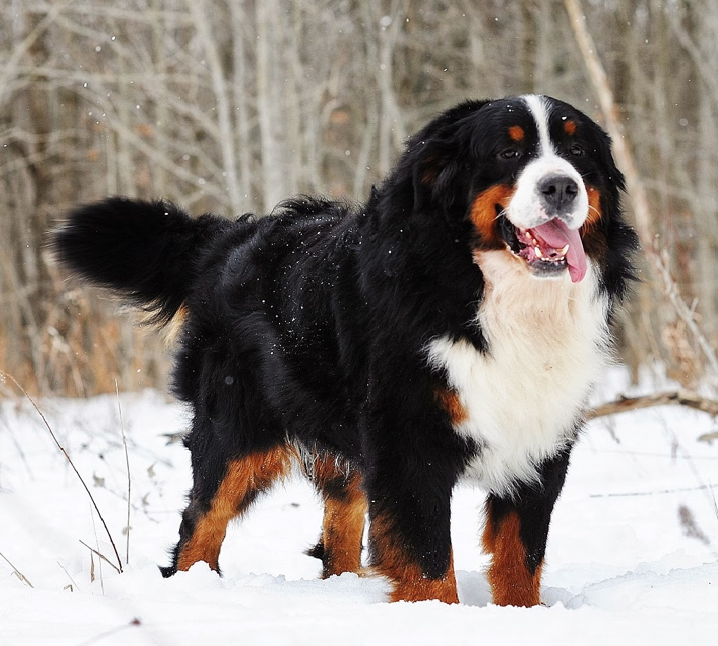 Bernese Mountain Dog litters, information, Pictures, and ... Bernese Dog