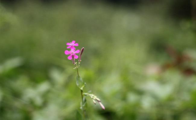 Sweet William Catchfly Flowers