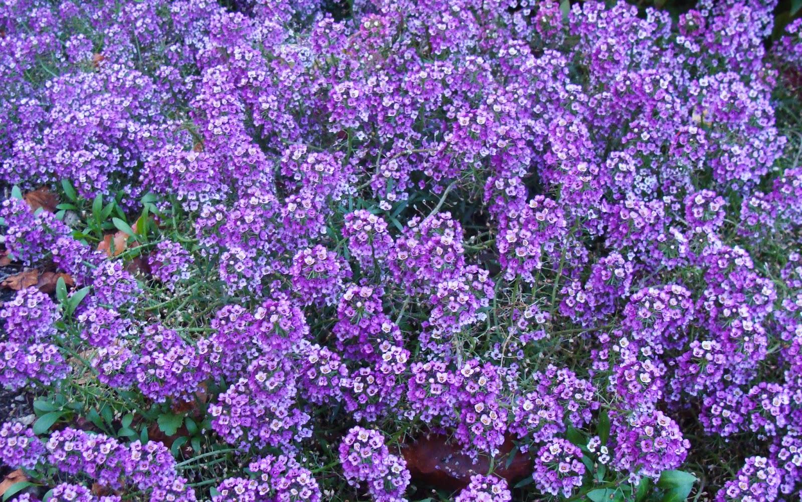 Цветок алиссум фото описание