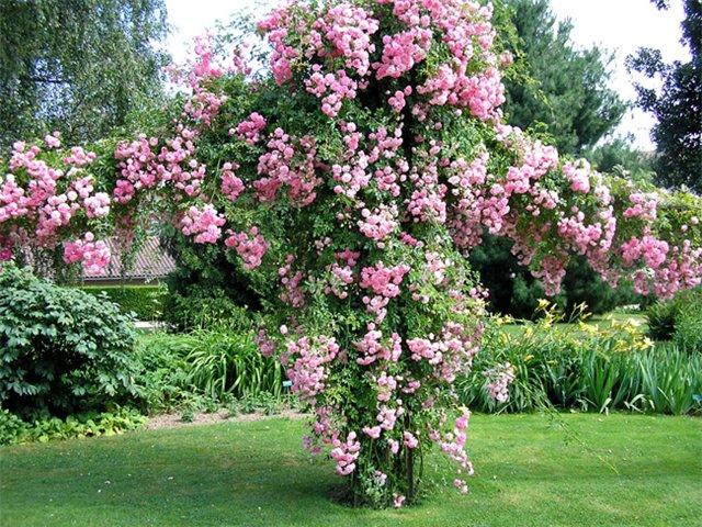 Однократноцветущие розы и повторноцветущие розы - что лучше?