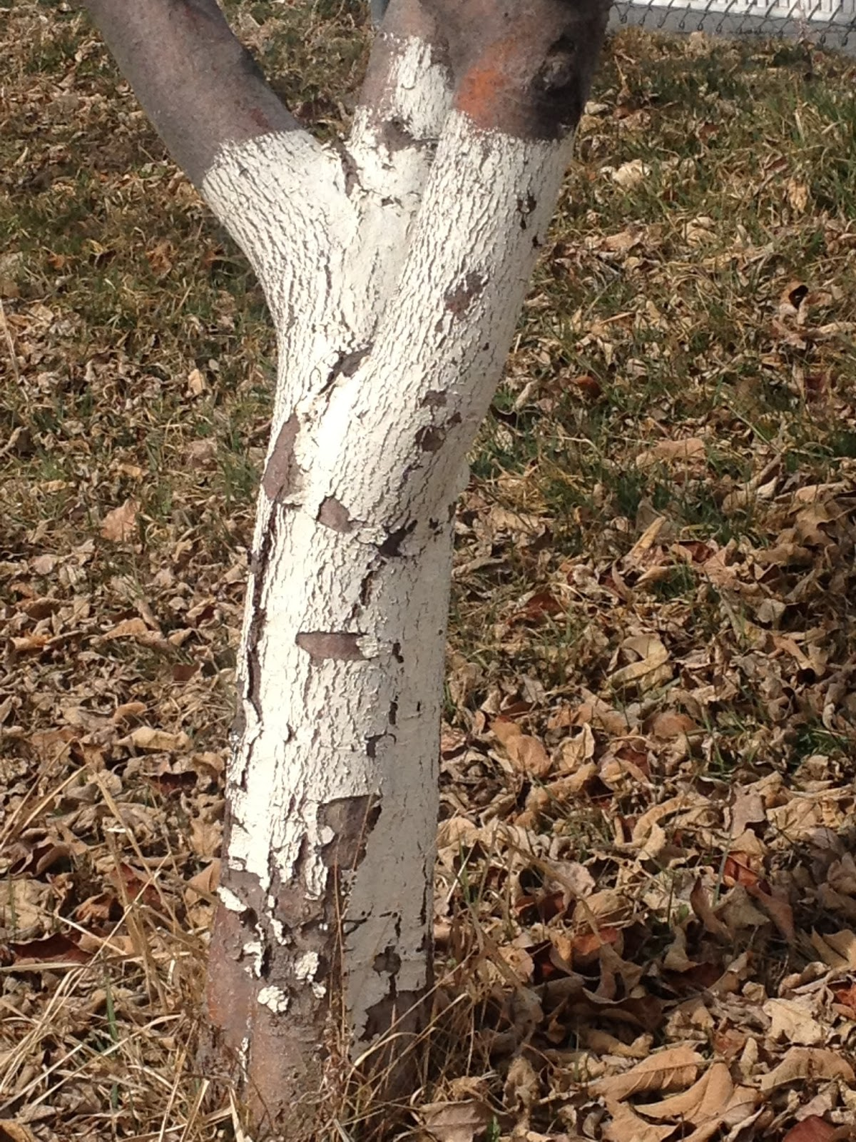 Fruit tree pruning at its best why are the base of fruit - White painted tree trunks ...