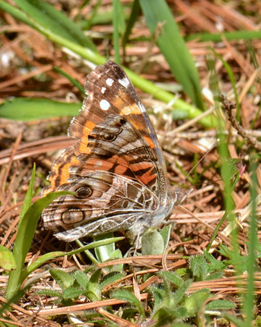 American Lady Butterfly laying eggs