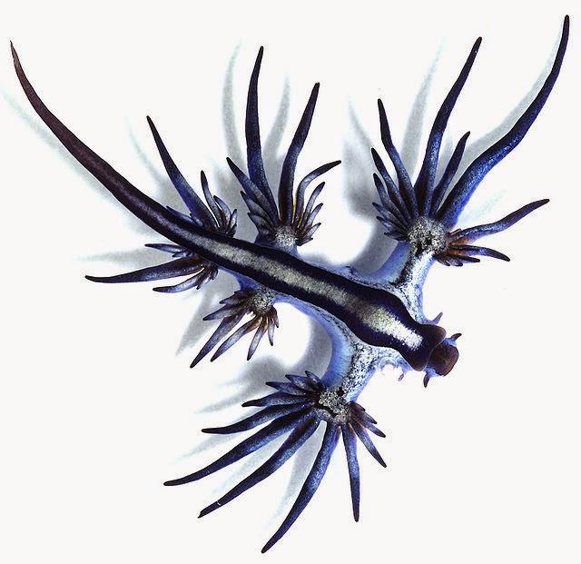 Blue glaucus (Glaucus atlanticus)