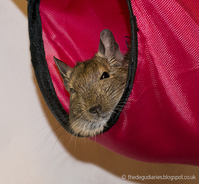 instead of a hammock i decided to get them a hanging sleep tunnel  mainly because claudielf  yay they have names now  loves to e down your jumper sleeve     the degu diaries  degu versus the sleep tunnel  rh   thedegudiaries blogspot