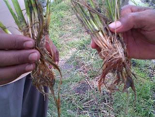 Akar yang busuk pertumbuhan padi sudah tidak normal