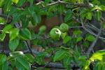 Manchineel - Pohon Paling Beracun Di Dunia