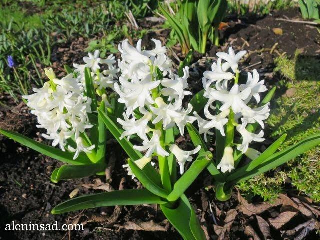 Hyacinthus orientalis, гиацинты, белые, аленин сад, весенние цветы, белые цветы