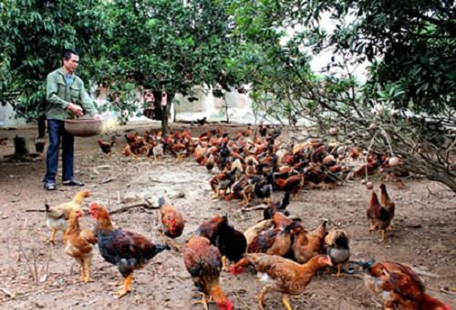 Gia Lai: Chọn mua thịt heo, gà thả vườn - Vì an toàn cho sức khỏe