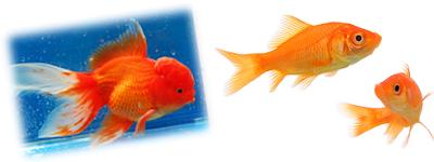 Guía para el principiante en acuarios de agua dulce, acuarios, agua,dulce, cuidados peces, construir un acuario, litros de mi acuario, volumen acuario, plantar acuario, acuario plantado, plantas acuario, peces disco