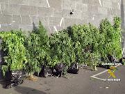 Una instantánea en la que se muestra parte de las plantas de marihuana .