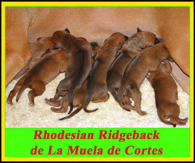 Cachorros Rhodesian Ridgeback Diciembre 2012