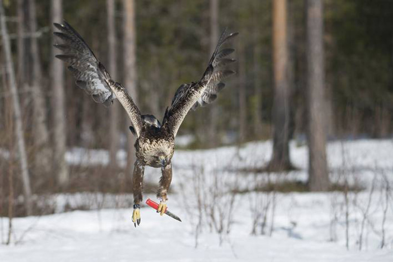aguia com canivete ou faca roubando