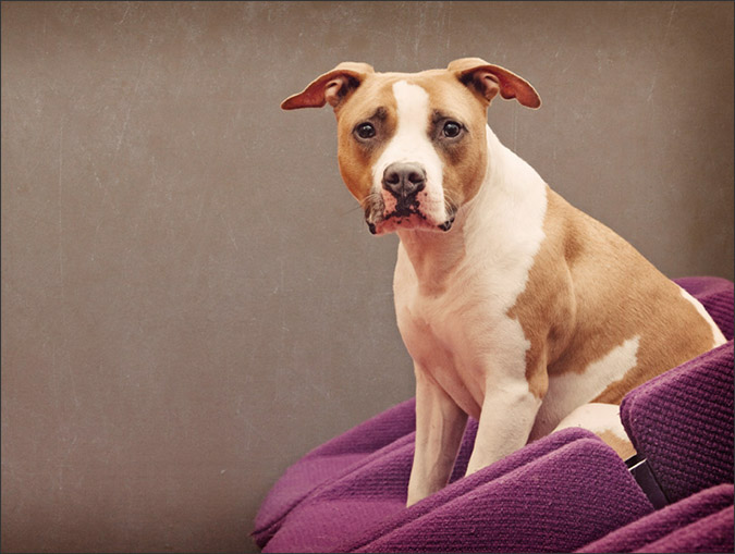 Notes from the Pack - a dog blog. Beautiful portraits of pit bulls from Mod4 Photographic.