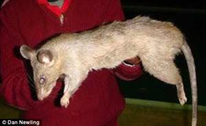 ratas gigantes come niñas