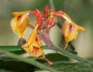 Alpinia rafflesiana