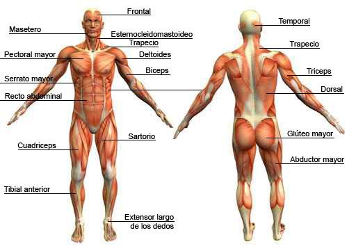 El sistema muscular ~ CENTRO PREUNIVERSITARIO