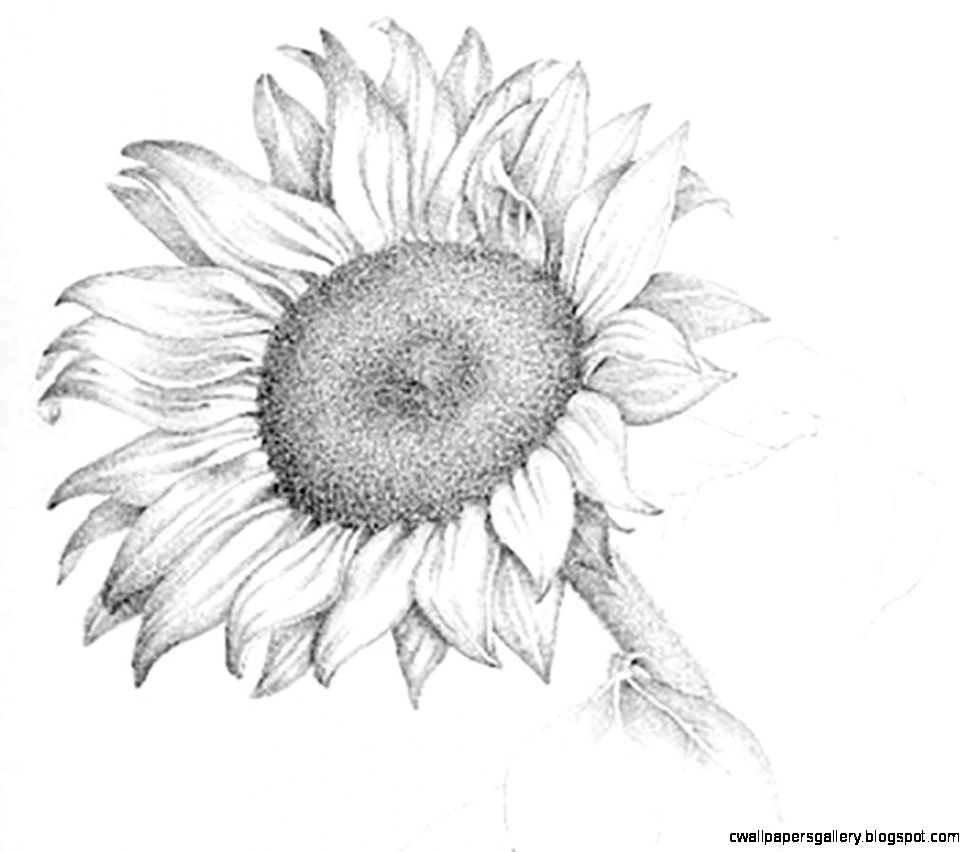 Pencil Drawings Of Sunflowers   Drawing Artisan