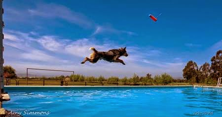Vader, taking a practice leap at Doggone Dirty Dock Diving pool