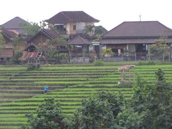 טרסות אורז-פסטורלי-באלי בפשטותה ויופיה