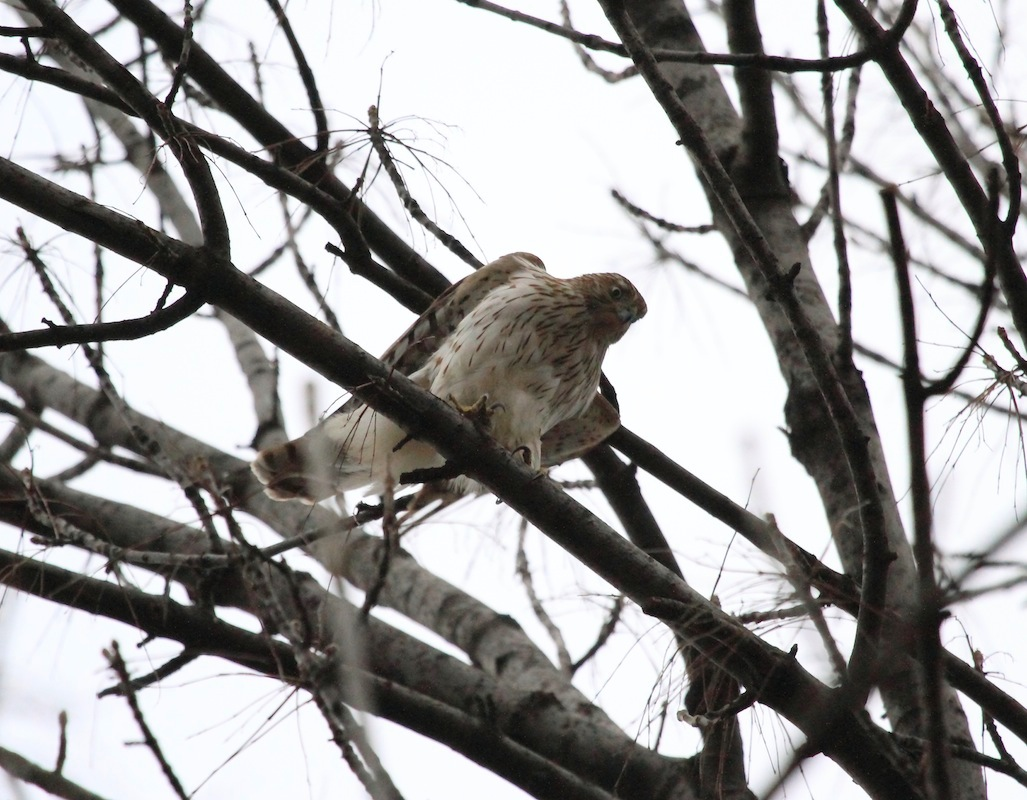 Close-up of a Cooper's Hawk in a park tree