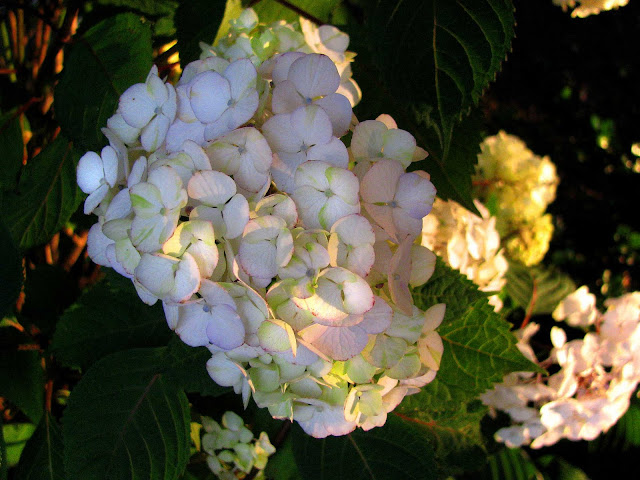 Evening-Summer-Solstice-Light-and-Hydrangeas